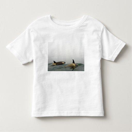 orcas (orcas), orca del Orcinus, vaina 2 Camisas