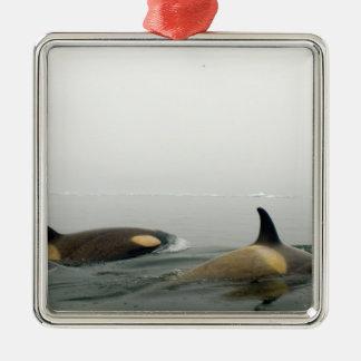 orcas (orcas), orca del Orcinus, vaina 2 Adorno Cuadrado Plateado