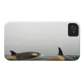 orcas (orcas), orca del Orcinus, vaina 2 Case-Mate iPhone 4 Coberturas