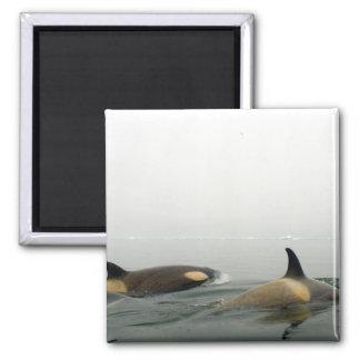 orcas (orcas), orca del Orcinus, vaina 2 Imán Cuadrado