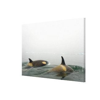 orcas (orcas), orca del Orcinus, vaina 2 Impresión En Tela