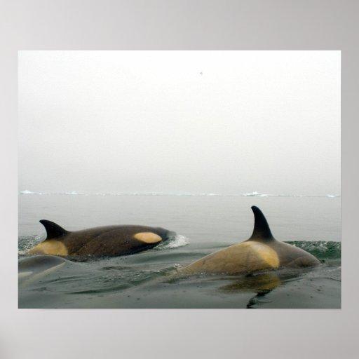 orcas (orcas), orca del Orcinus, vaina 2 Impresiones