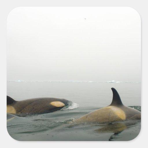 orcas (orcas), orca del Orcinus, vaina 2 Calcomania Cuadradas