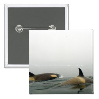 orcas (orcas), orca del Orcinus, vaina 2 Pin