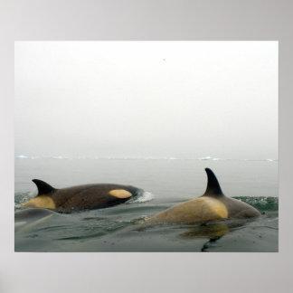 orcas (orcas), orca del Orcinus, vaina 2 Póster