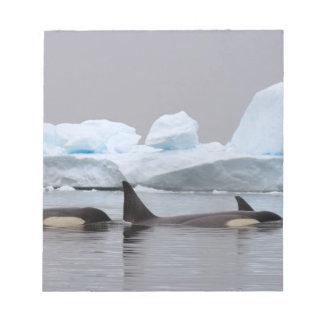 orcas (orcas), orca del Orcinus, vaina Blocs