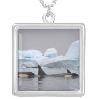 orcas (orcas), orca del Orcinus, vaina Collar Personalizado