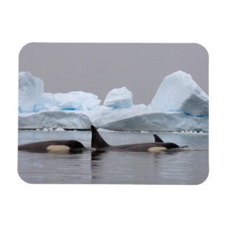 orcas orcas orca del Orcinus vaina Imán De Vinilo