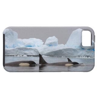 orcas (orcas), orca del Orcinus, vaina iPhone 5 Funda