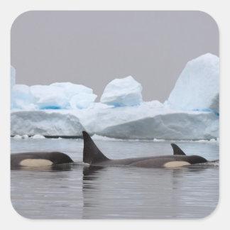 orcas orcas orca del Orcinus vaina Calcomanías Cuadradass Personalizadas