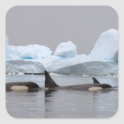 orcas (orcas), orca del Orcinus, vaina Calcomanías Cuadradases