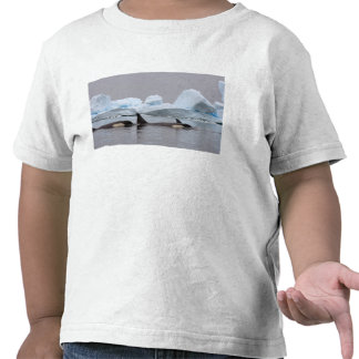 orcas (orcas), orca del Orcinus, vaina Camiseta