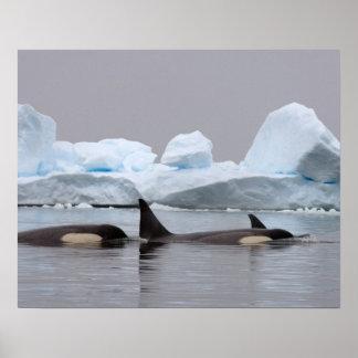 orcas (orcas), orca del Orcinus, vaina Póster