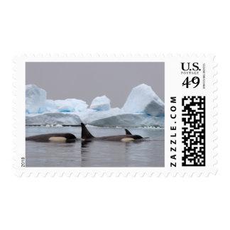 orcas (orcas), orca del Orcinus, vaina Sello
