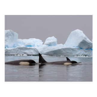 orcas (orcas), orca del Orcinus, vaina Postales