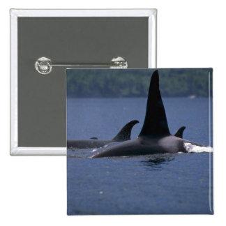 Orcas que nadan en la superficie pin