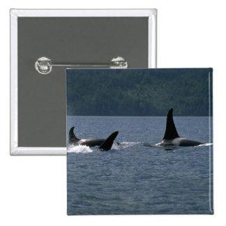 Orcas que nadan en la superficie pins