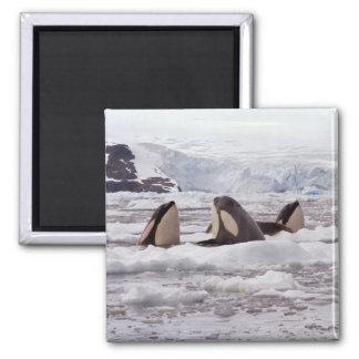 Orcas Spyhopping Magnet