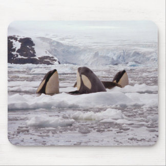 Orcas Spyhopping Mouspad Mouse Pad
