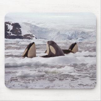 Orcas Spyhopping Mouspad Alfombrilla De Ratón