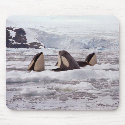 Orcas Spyhopping Mouspad Tapetes De Ratón