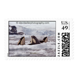 Orcas Spyhopping Postage Stamp
