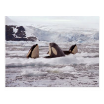 Orcas Spyhopping Postcard