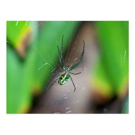 Orchard Orb Weaver Spider Postcard