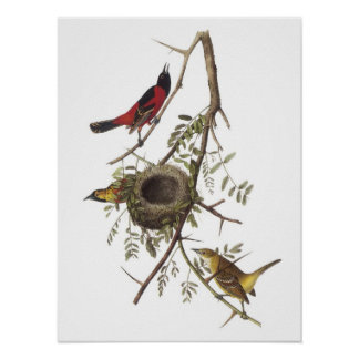 Orchard Oriole by Audubon Poster