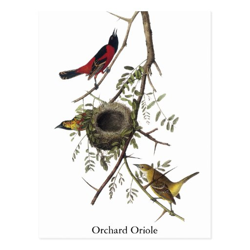 Orchard Oriole - John James Audubon Postcard