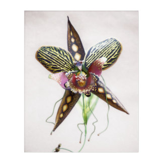 Orchid Art, Rattlesnake Spider Orchid Acrylic Print