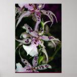 Orchid Beallara Poster