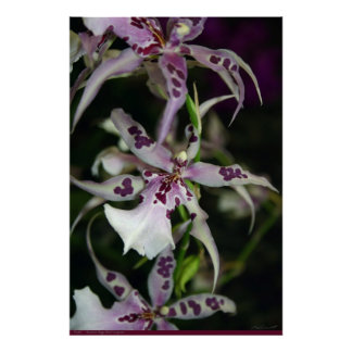 Orchid Beallara Poster -24x36 -other sizes also