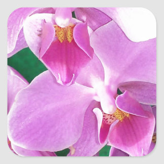 Orchid blooms closeup in pink square sticker