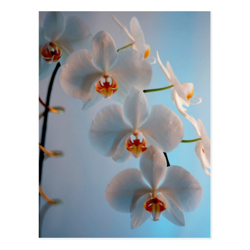 Orchid Branch Post Cards