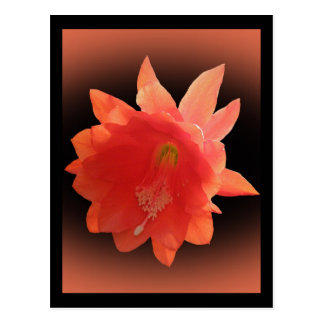 Orchid Cactus - Epiphyllum Ackermannii - Blossom Post Card