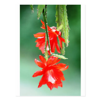 Orchid Cactus in Bloom Postcard