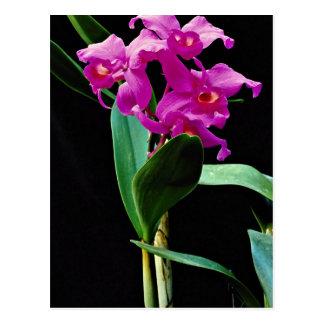 Orchid cattleya (Hailstorm Nilene)  flowers Postcard