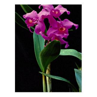 Orchid cattleya (Hailstorm Nilene) Postcard