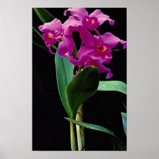 Orchid cattleya (Hailstorm Nilene) Poster