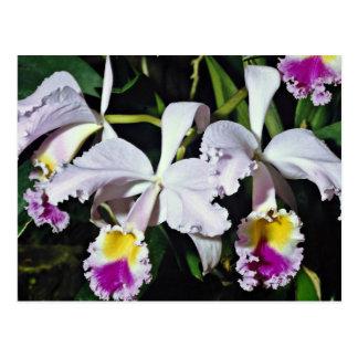 Orchid cattleya-hybrid cattleya trianae x black post cards