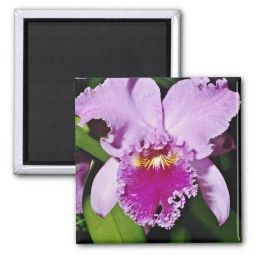Orchid, cattleya trianae (b c michaelangelo)  flow 2 inch square magnet