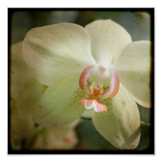 Orchid close up - 8x8 TTV photograph Poster