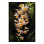 Orchid - Dendrobium Orchid Posters