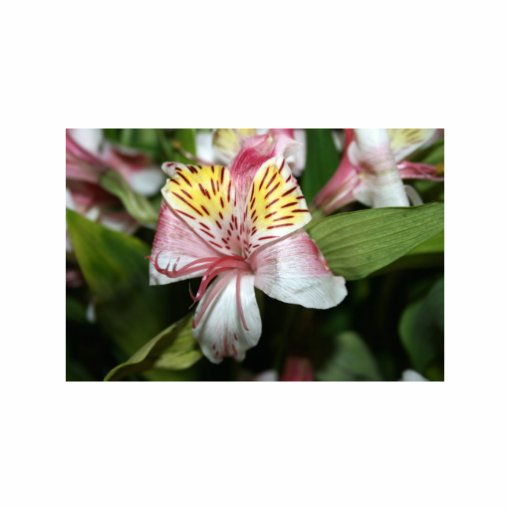 Orchid flower close up, pink white yellow photo photo sculptures