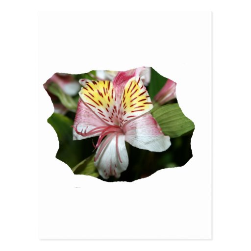 Orchid flower close up, pink white yellow photo post cards