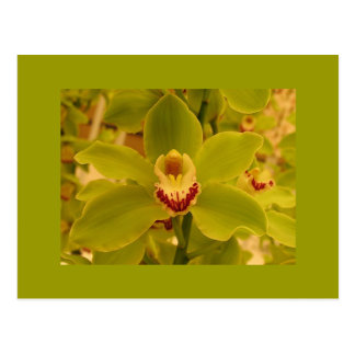 Orchid  Green Cymbidium Postcard
