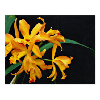 Orchid Laela, cattleya, trick or treat  flowers Postcard