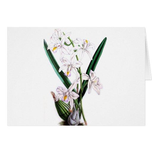 Orchid Laelia Albida, var Rosea Greeting Card