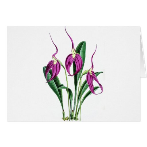 Orchid Masdevallia Harryana Greeting Card